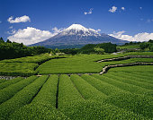 富士山と紅茶のプランテーション