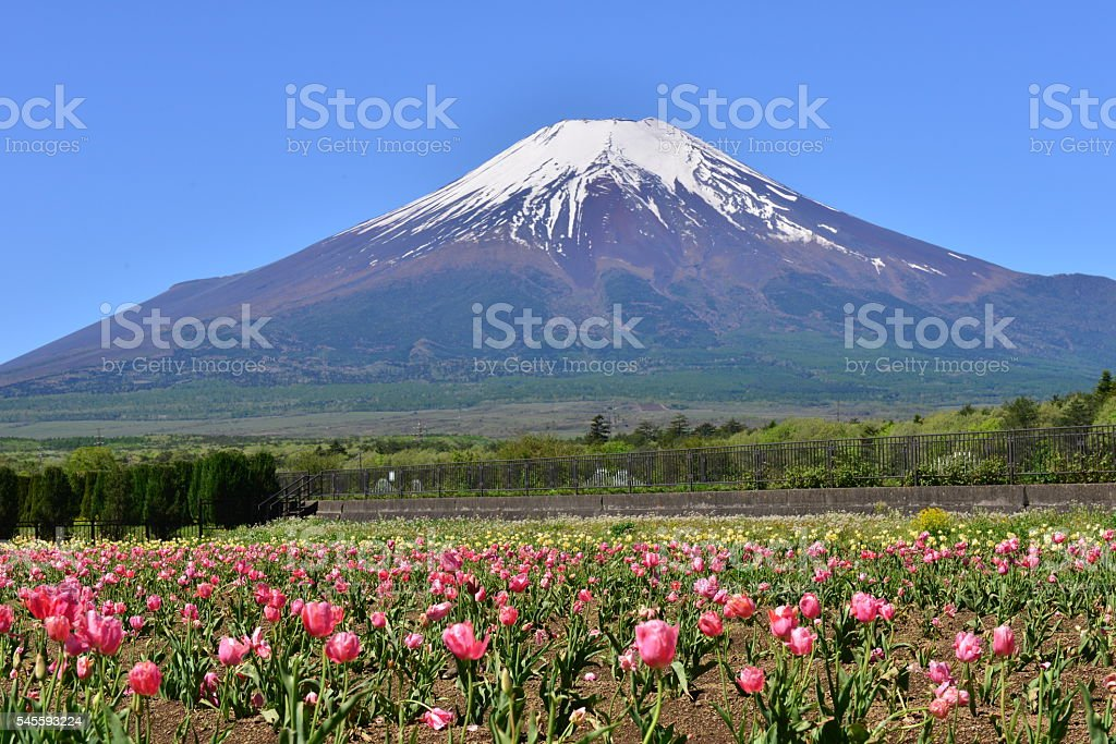 Mt Fuji and Tulip Flowers stock photo