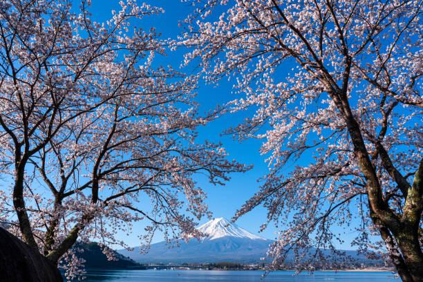 Mt. Fuji in the spring time with cherry blossoms at kawaguchiko Fujiyoshida, Japan. Mt. Fuji in the spring time with cherry blossoms at kawaguchiko Fujiyoshida, Japan. lake kawaguchi stock pictures, royalty-free photos & images