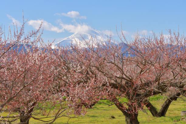 Mt. Fuji über weißen Pflaumenblüten von Soga-Bessho Plum Grove, Odawara – Foto