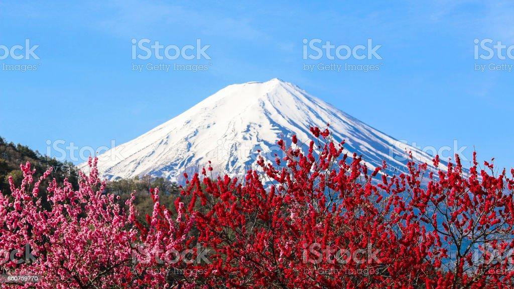 MT Fuji com ameixa flor e azul céu de fundo. - foto de acervo