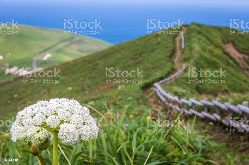 Mt. Gorota Wildflowers on the Cape Tour Course, Rebun Island, Japan stock photo