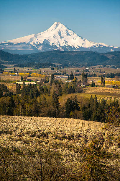 Mt Hood, apple orchards, Oregon Apple orchards blossoming white in springtime, Hood River Valley, Oregon hood river valley stock pictures, royalty-free photos & images