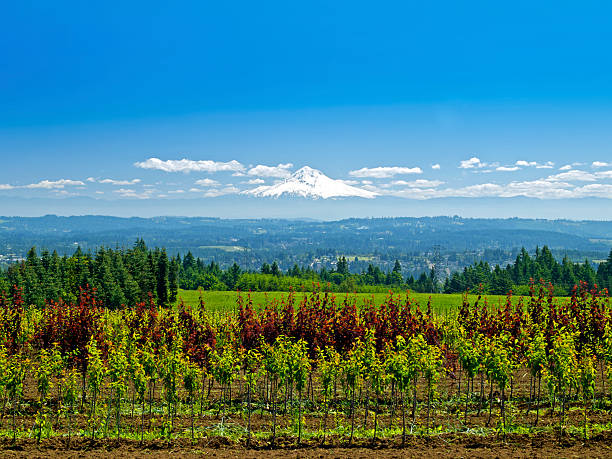 Mt Hood Looking across Trees Mountains from Willamette Valley stock photo