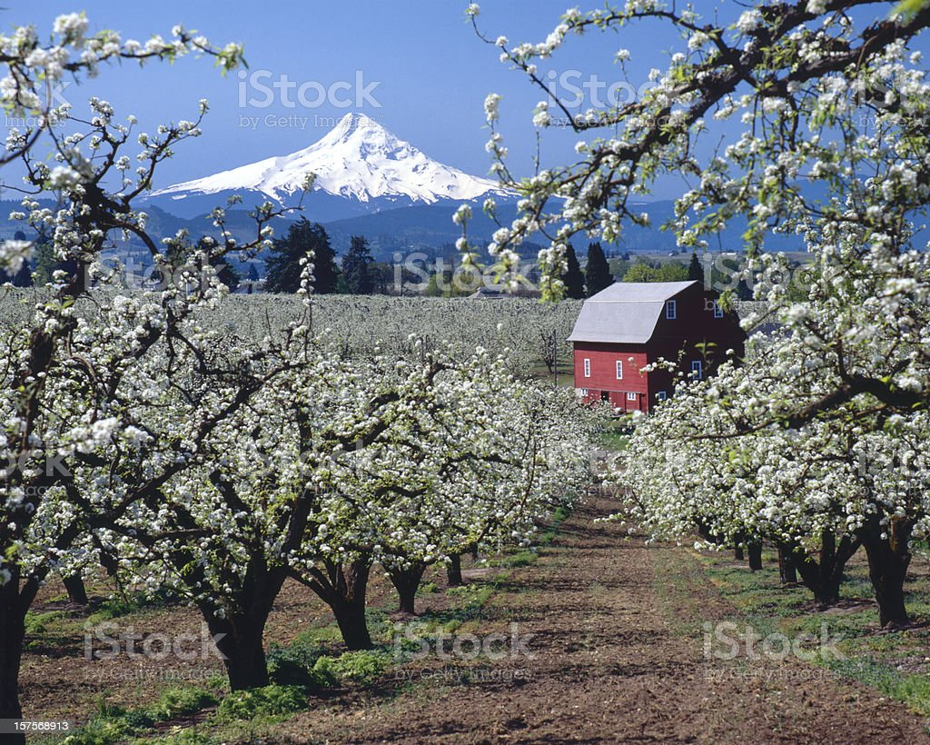 Mt Hood, Oregon,USA-w/red barn and apple blossoms stock photo
