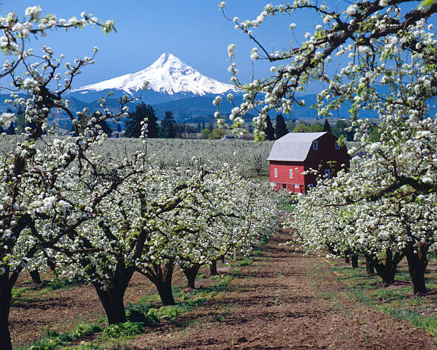 Mt Hood, Oregon,USA-w/red barn and apple blossoms  hood river valley stock pictures, royalty-free photos & images