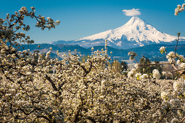Mt Hood Vally and apple orchards Spring apple orchards in Mt Hood Vally, Oregon hood river valley stock pictures, royalty-free photos & images