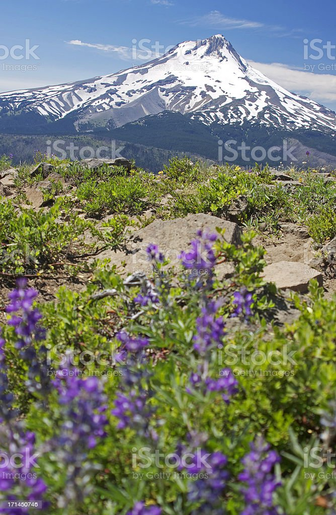 Mt Hood with Lupine in the foreground stock photo