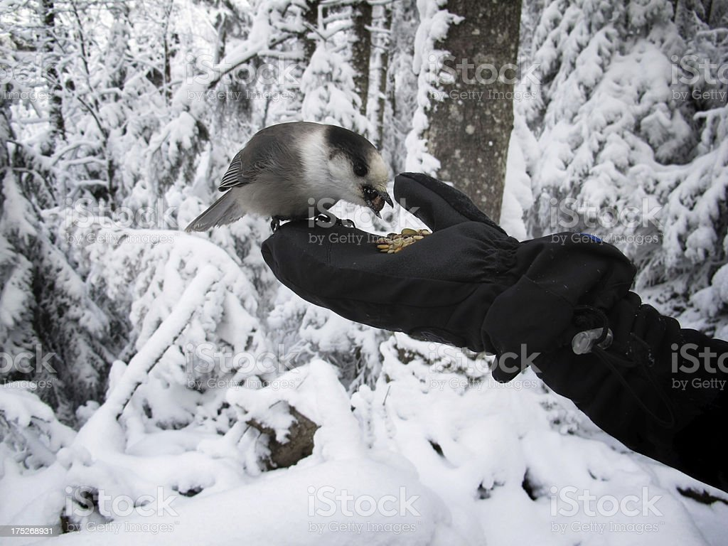 Mt Jackson Gray Jay Being Hand Fed stock photo