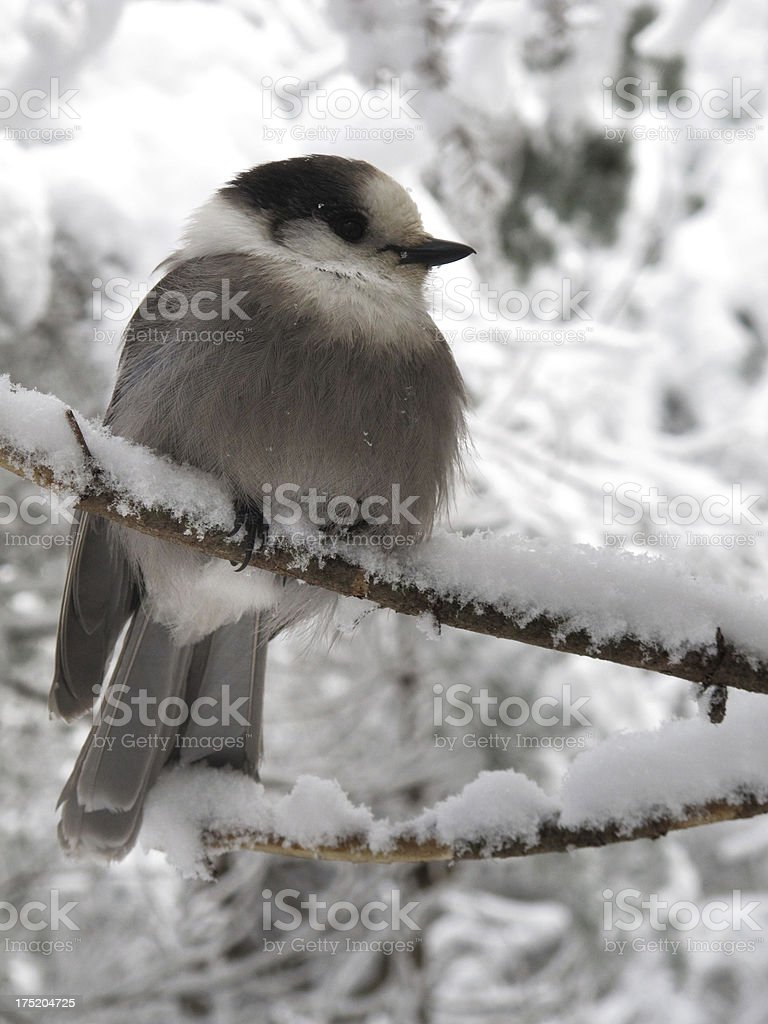 Mt. Jackson Gray Jay rests on a snow covered branch stock photo