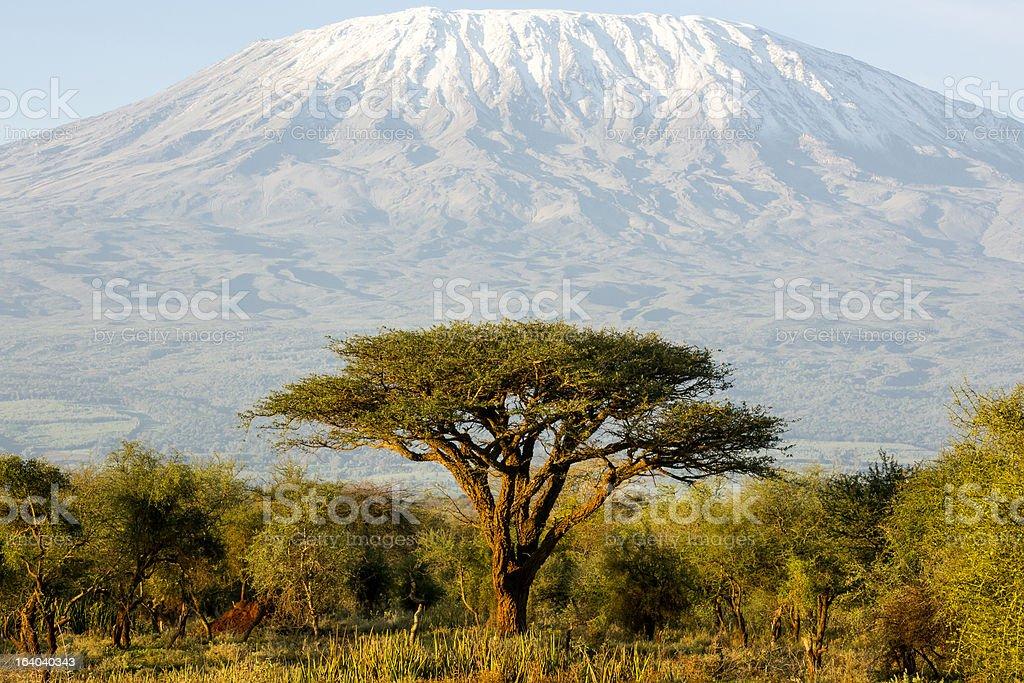 Mt Kilimanjaro and Acacia - in the morning royalty-free stock photo