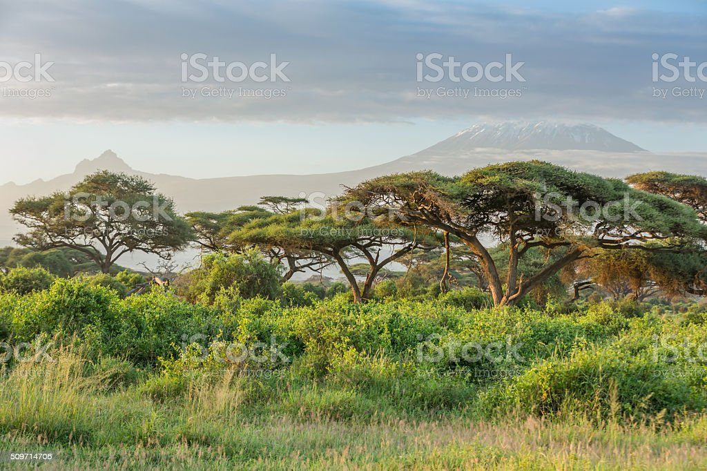 Mt Kilimanjaro, clouds and Acacia tree - in the morning stock photo