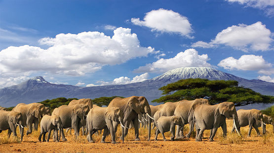 Mt Kilimanjaro Tanzania, large herd of african elephants and snow capped mountain, taken on a safari trip in Kenya with cloudy blue sky. Africas highest point with largest mammals savannah landscape.