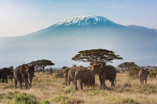 Mt Kilimanjaro from Amboseli National Park, Kenya A landscape shot of Mt Kilimanjaro with the famous elephants of Amboseli south africa stock pictures, royalty-free photos & images