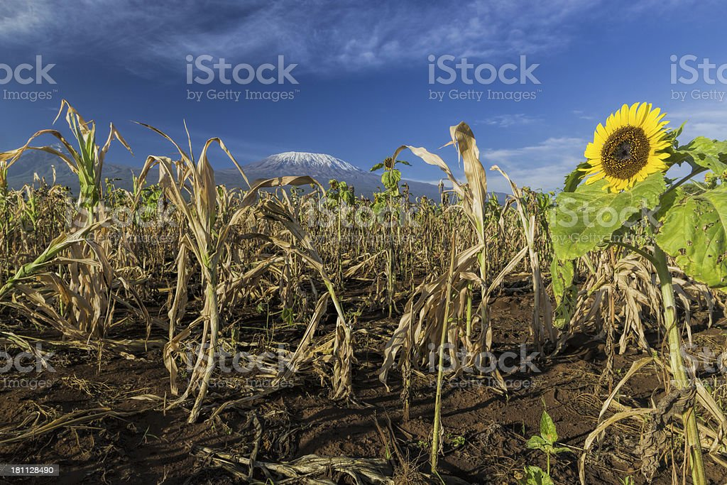 Mt Kilimanjaro - in the morning with sun flowers royalty-free stock photo