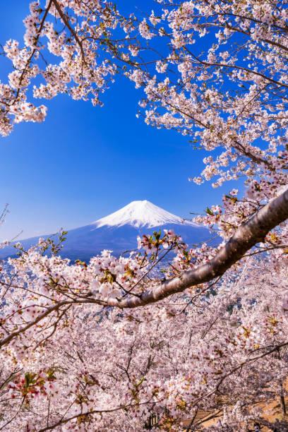 mt.fuji and cherry blossoms scenery. - cherry blossoms imagens e fotografias de stock
