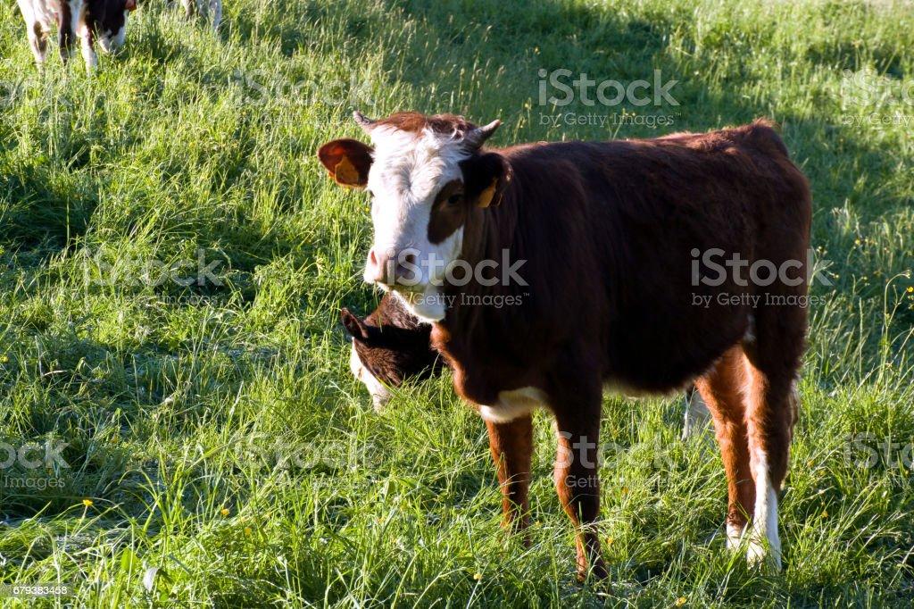 Mucche al pascolo royalty-free stock photo