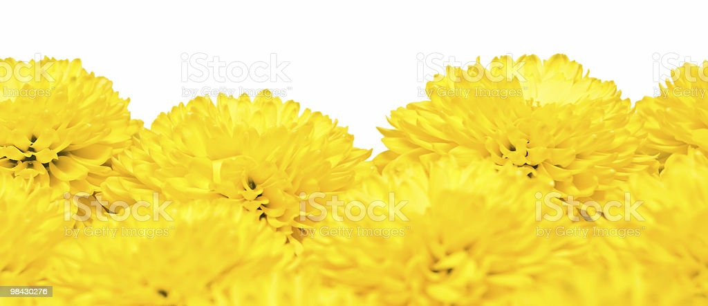 much rich yellow chrysanthemums royalty-free stock photo