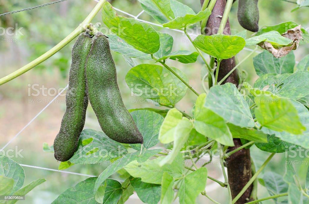 Mucuna pruriens in the garden. stock photo