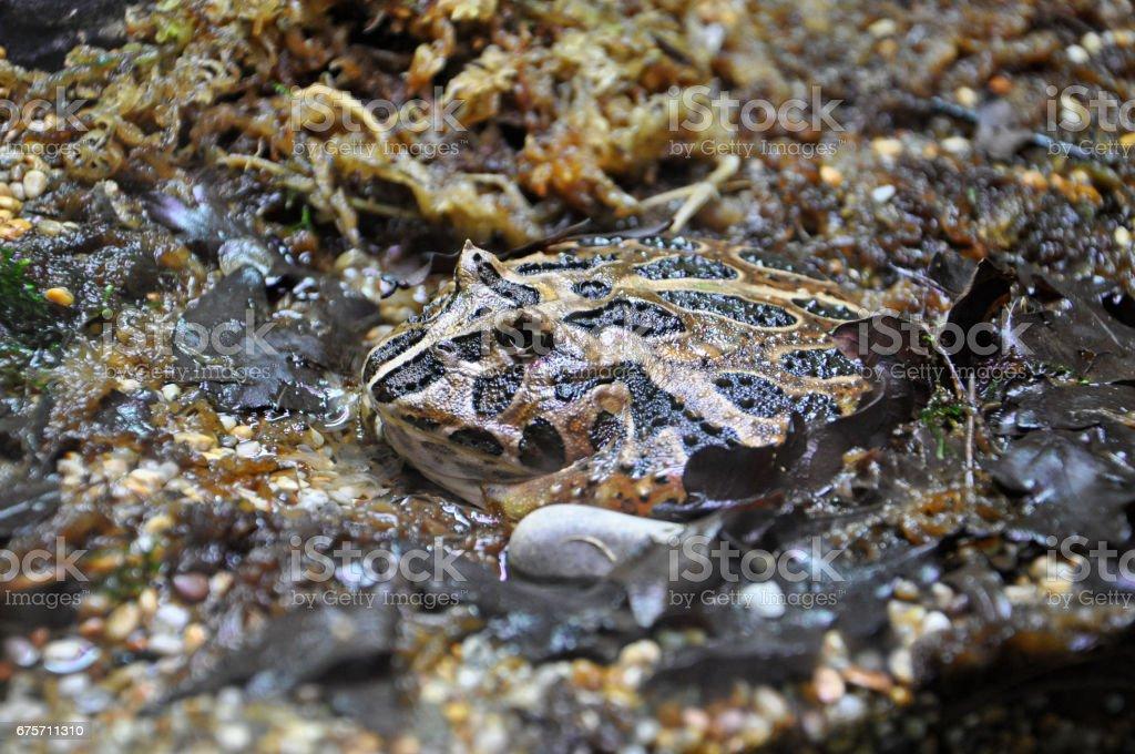 泥漿蟾蜍坐在泥地裡,幾乎不可見。 免版稅 stock photo
