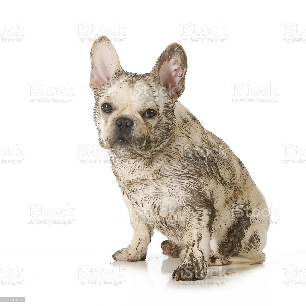 muddy dirty dog stock photo