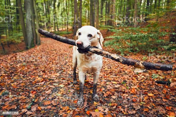 Muddy dog in autumn nature picture id858651358?b=1&k=6&m=858651358&s=612x612&h=uyi10f7y cyukeviiz5ikjsmigqvjzymejdvtadd33a=