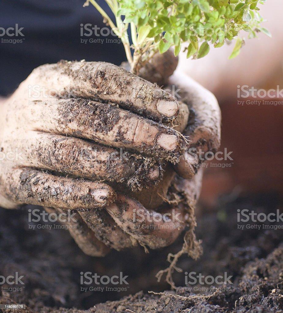 muddy hands - vegetable gardening in balcony royalty-free stock photo