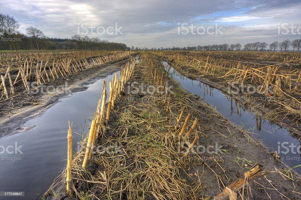 Muddy maizefield stock photo