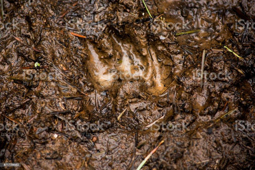 Muddy Paw Print stock photo