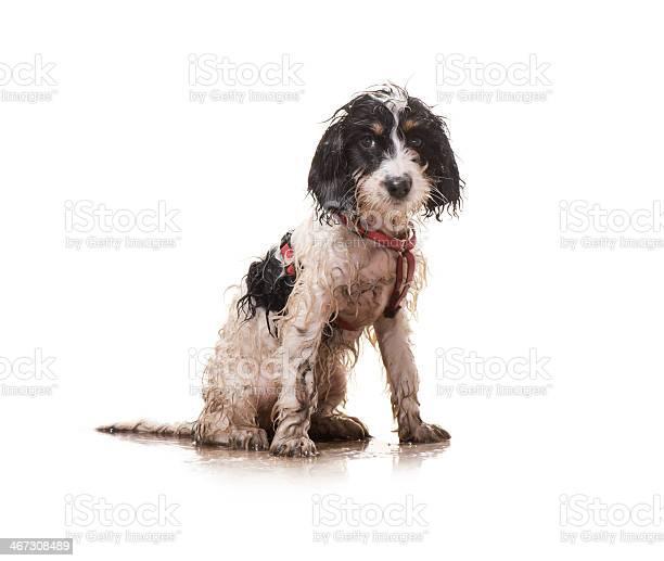 Muddy puppy picture id467308489?b=1&k=6&m=467308489&s=612x612&h=mjjnsmifbicnajt30ztoljx17kjhg5ckqiqcyogyb64=
