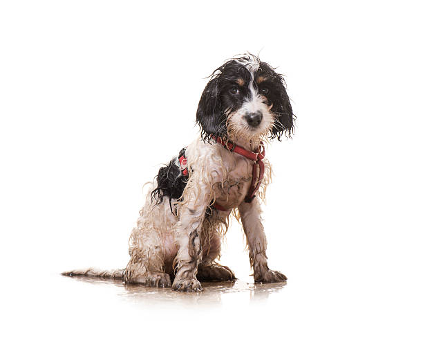 muddy puppy - wet stock pictures, royalty-free photos & images
