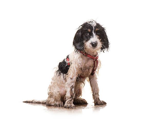 muddy puppy - islak stok fotoğraflar ve resimler