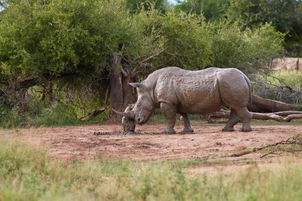 Muddy rhino scratching himself to a tree trunk stock photo