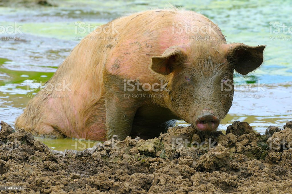 Muddy Sow Poolside royalty-free stock photo
