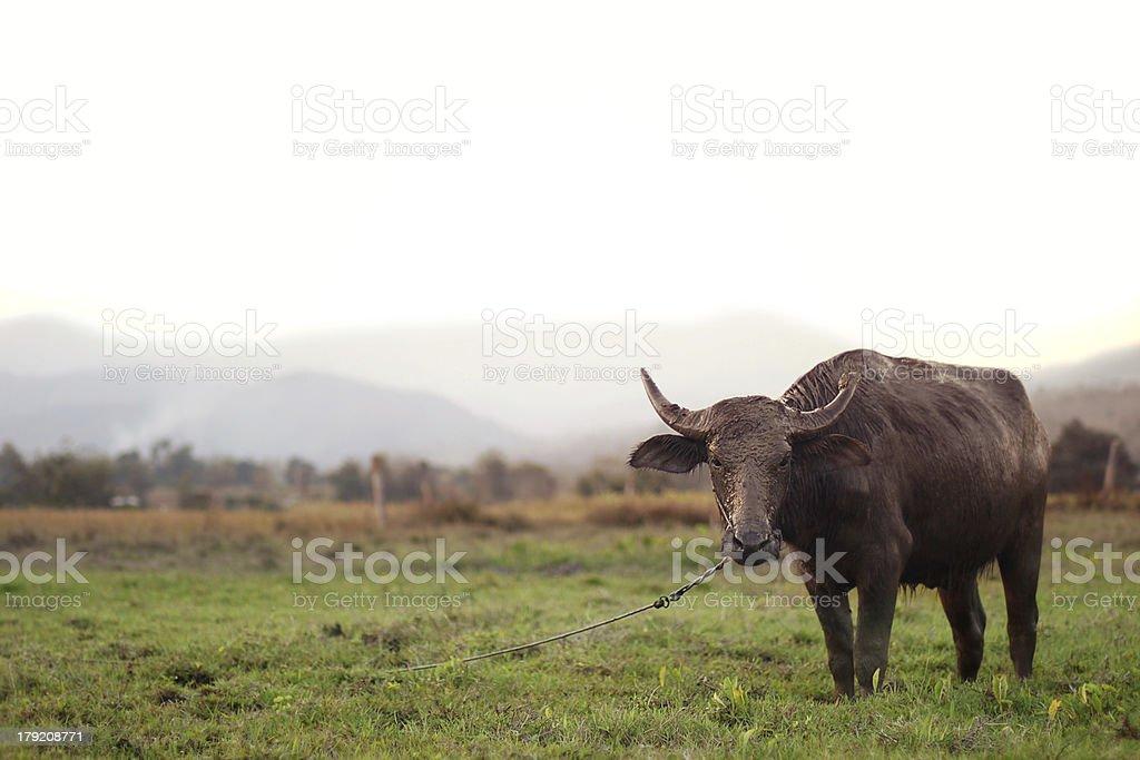muddy water buffalo in Pai royalty-free stock photo