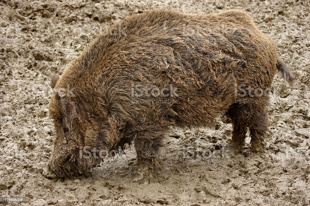 muddy Wild boar stock photo