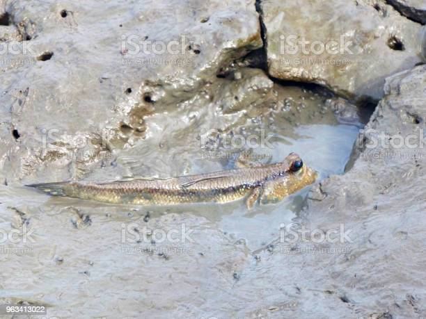 Mudskipper Lub Amfibia Ryb - zdjęcia stockowe i więcej obrazów Azja
