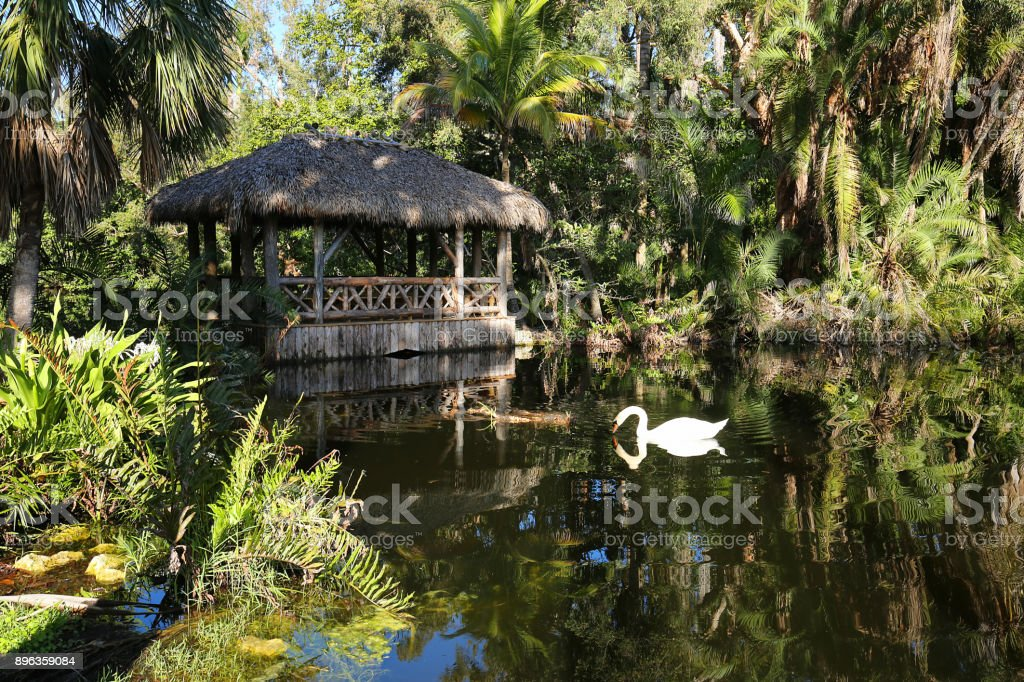 Muet swan drinks water in front of a chickee bridge also know as a tiki hut. stock photo