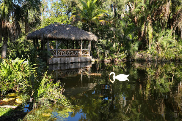 Muet swan drinks water in front of a chickee bridge also know as a tiki hut. Muet swan drinks water in front of a chickee bridge also know as a tiki hut. bonnet stock pictures, royalty-free photos & images