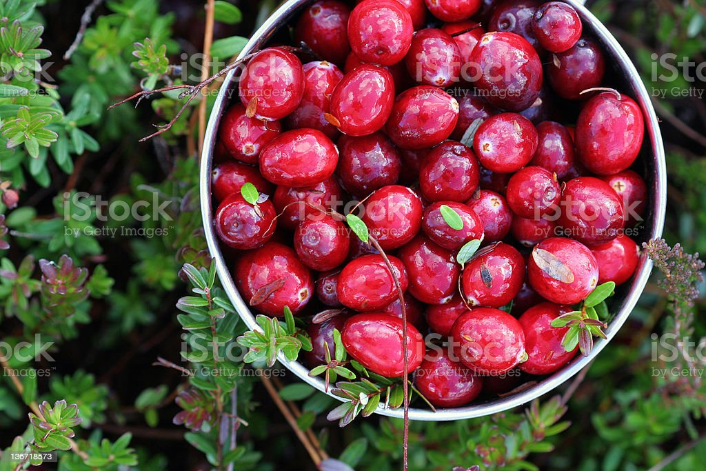 Mug with just picked fresh cranberries in a swamp royalty-free stock photo