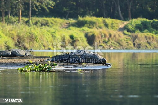 Mugger crocodile at rapti river in Chitwan National Park, Nepal