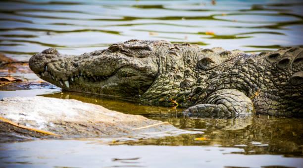 Mugger crocodile on riverside stock photo