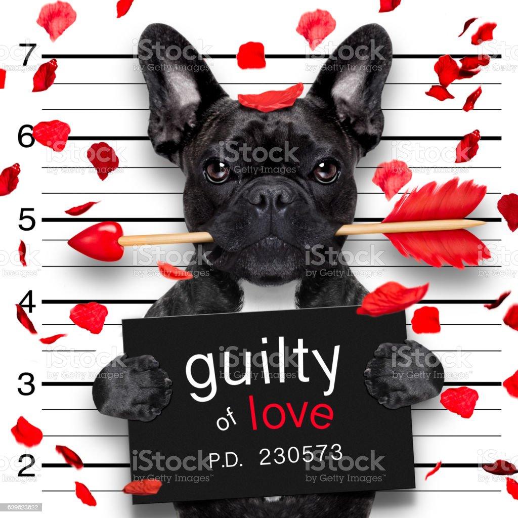 mugshot dog on valentines stock photo