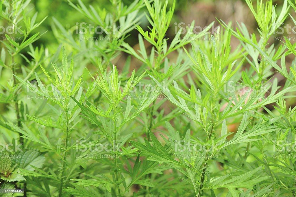 Mugwort plants royalty-free stock photo