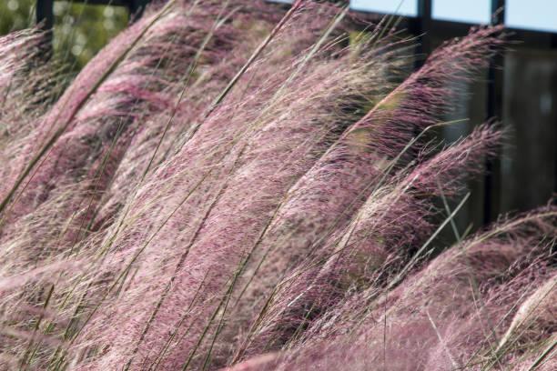 Muhly Grass (Muhlenbergia) stock photo