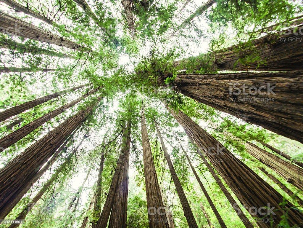 Muir Woods, California, USA royalty-free stock photo