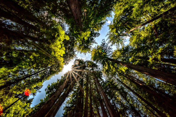 Muir Woods Canopy Muir Woods National Monument national forest stock pictures, royalty-free photos & images