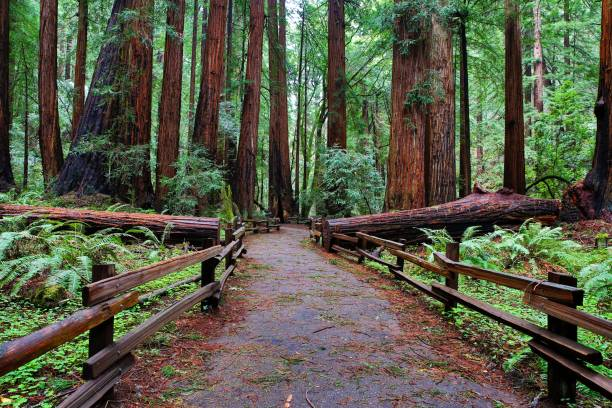 Muir Woods Footpath A wet day at Muir Woods National Monument. national forest stock pictures, royalty-free photos & images