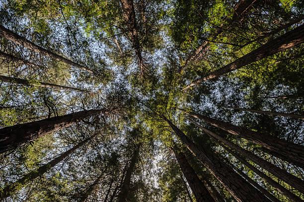 muir woods nachschlagen hdr, san francisco - sternmoos stock-fotos und bilder