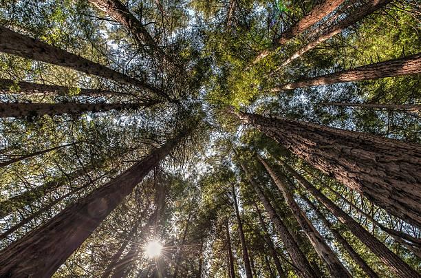 muir woods national monument nachschlagen, san francisco - sternmoos stock-fotos und bilder